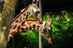 giraffa 2 camelopardalis Στοκ φωτογραφία με δικαίωμα ελεύθερης χρήσης