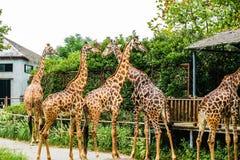 giraffa 2 camelopardalis Στοκ εικόνες με δικαίωμα ελεύθερης χρήσης