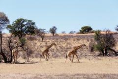 Giraffa camelopardalis in african bush. Kgalagadi Transfrontier Park, Botswana, true wildlife Royalty Free Stock Image