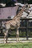 Giraffa camelopardalis Royalty Free Stock Photo