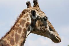 Giraffa camelopardalis Stock Image