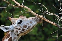 Giraffa (camelopardalis del Giraffa) Fotografia Stock