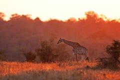 Giraffa, camelopardalis del Giraffa Fotografia Stock