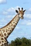 Giraffa (camelopardalis) del Giraffa - Botswana Immagine Stock Libera da Diritti