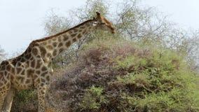 Giraffa camelopardalis, die auf Baum weiden lassen stock footage