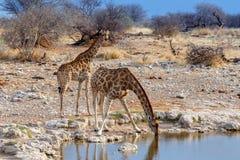 Giraffa camelopardalis, die vom waterhole in Nationalpark Etosha trinken Stockfotografie