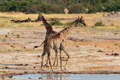 Giraffa camelopardalis drinking in national park, Hwankee Stock Photo