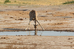 Giraffa camelopardalis drinking in national park, Hwankee Royalty Free Stock Photos
