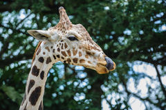Giraffa camelopardalis. A female giraffe - Giraffa camelopardalis - licking her lips royalty free stock photos