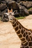 Giraffa Camelopardalis. Giraffa camelopardali trying to smile for the camera stock image