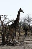 Giraffa Camelopardalis giraffa Royalty Free Stock Photo