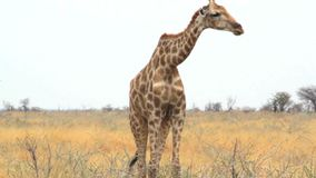 Giraffa camelopardalis grazing in Etosha stock footage
