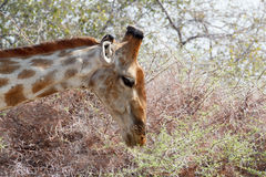 Giraffa camelopardalis grazing on tree Stock Photography