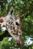 Giraffa camelopardalis Royalty Free Stock Photography