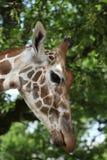 Giraffa camelopardalis Royalty Free Stock Photography
