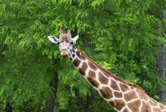 Giraffa camelopardalis Royalty Free Stock Photo