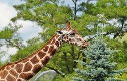 Giraffa camelopardalis Stock Photos