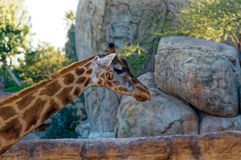 Giraffa camelopardalis with long neck in the zoo. Stock Photo