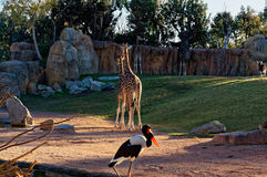 Giraffa camelopardalis with long neck in the zoo. Royalty Free Stock Image