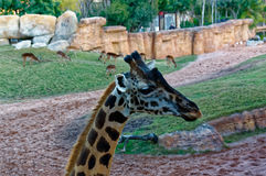 Giraffa camelopardalis with long neck in the zoo. Stock Images