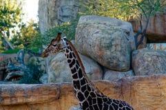 Giraffa camelopardalis with long neck in the zoo. Royalty Free Stock Photos