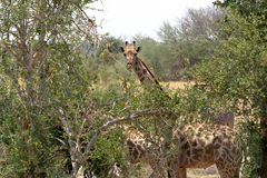Giraffa camelopardalis in national park, Hwankee Royalty Free Stock Photo