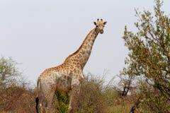 Giraffa camelopardalis in national park, Hwankee. Majestic Giraffa camelopardalis in national park, Hwankee, Botswana Royalty Free Stock Photos