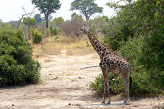 Giraffa camelopardalis in national park, Hwankee. Majestic Giraffa camelopardalis in national park, Hwankee, Botswana stock photo