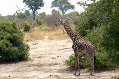 Giraffa camelopardalis in national park, Hwankee Stock Photo