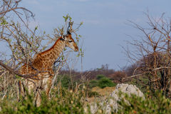 Giraffa camelopardalis in national park, Hwankee. Majestic Giraffa camelopardalis in national park, Hwankee, Botswana stock image