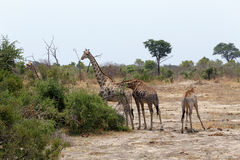 Giraffa camelopardalis in national park, Hwankee. Majestic Giraffa camelopardalis in national park, Hwankee, Botswana royalty free stock photography