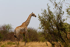Giraffa camelopardalis in national park, Hwankee Royalty Free Stock Image
