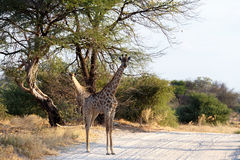 Giraffa camelopardalis in national park, Hwankee. Majestic Giraffa camelopardalis in national park on road, Hwankee, Botswana Royalty Free Stock Photos