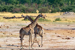Giraffa camelopardalis in national park, Hwankee Stock Photo