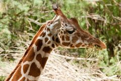 Giraffa camelopardalis peralta Stock Photo