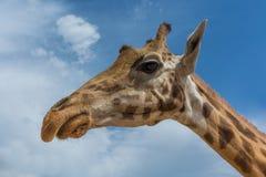 Giraffa camelopardalis rothschildi profile over blue sky with white clouds. Safari Aitana, Penaguila, Spain Royalty Free Stock Photo