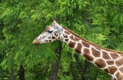 Giraffa camelopardalis Stock Images