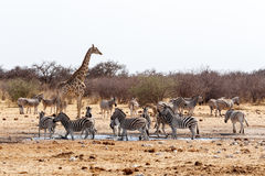 Giraffa camelopardalis and zebras drinking on waterhole Stock Image