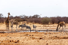 Giraffa camelopardalis and zebras drinking on waterhole Royalty Free Stock Photos