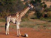 Giraffa in cespuglio Fotografie Stock Libere da Diritti