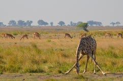 Giraffa che allunga giù Fotografia Stock