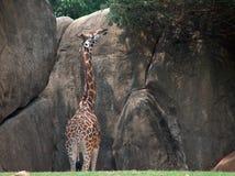 Giraffa che allunga per l'alta vegetazione Immagini Stock Libere da Diritti