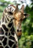 Giraffa che attacca la sua lingua fuori fotografia stock