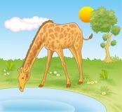 Giraffa che beve da uno stagno Immagine Stock Libera da Diritti