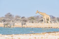 Giraffa che beve dal waterhole Safari nel parco nazionale di Etosha, destinazione famosa della fauna selvatica di viaggio in Nami immagini stock