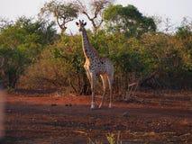 Giraffa che cammina alla luce di crepuscolo fotografia stock libera da diritti