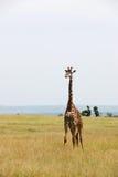 Giraffa che cammina da solo Immagine Stock
