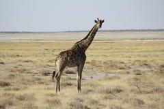 Giraffa che cammina da solo Fotografia Stock