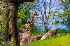 Giraffa che cammina da solo 05-15-2015 immagini stock