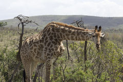 Giraffa che cerca un'area per pascere Fotografia Stock